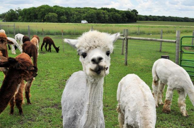 Fossum Family Farm Alpacas