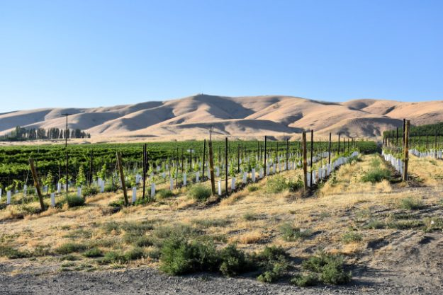 Vineyards in the Rattlesnake Hills.