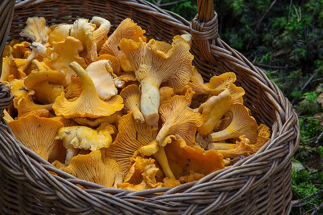 Chantrelle mushrooms in a basket.