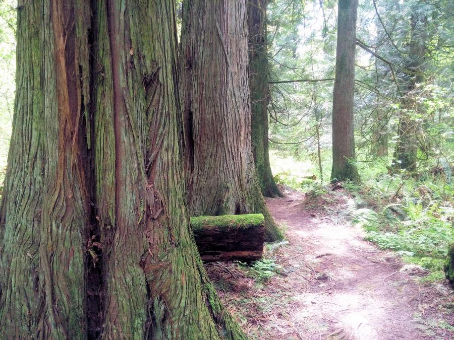 Old growth forest in Berthusen Park in Lynden, Washington.
