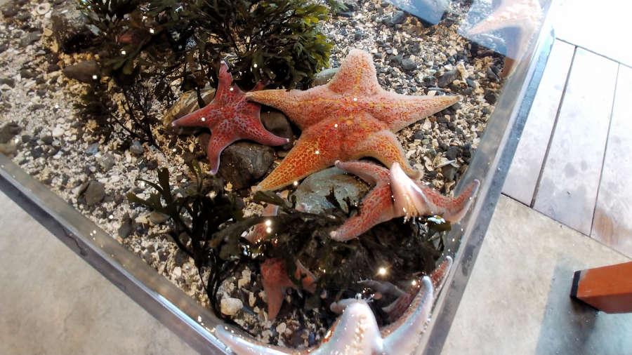 Seastar in Ucluelet Aquarium in British Columbia.