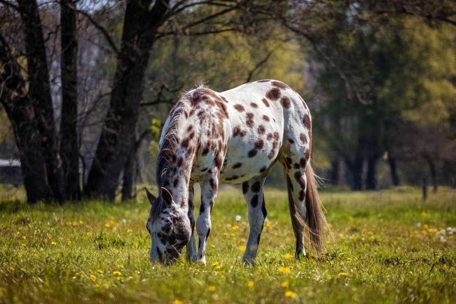 An Appaloosa horse.