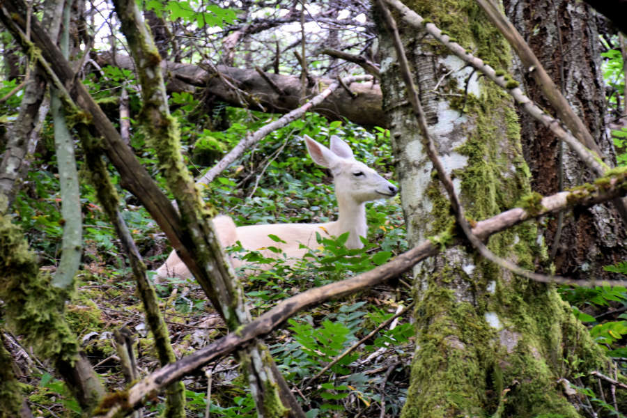 Descendants of white deer at Diablo Lake in Washington State.