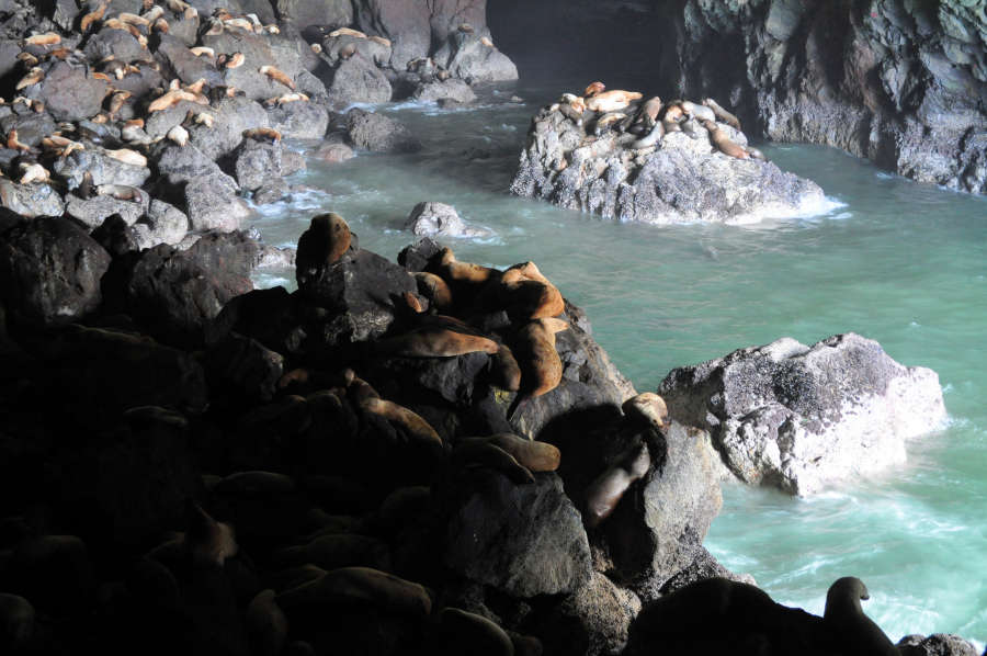 Sea lions lounging in the Sea Lion Caves.