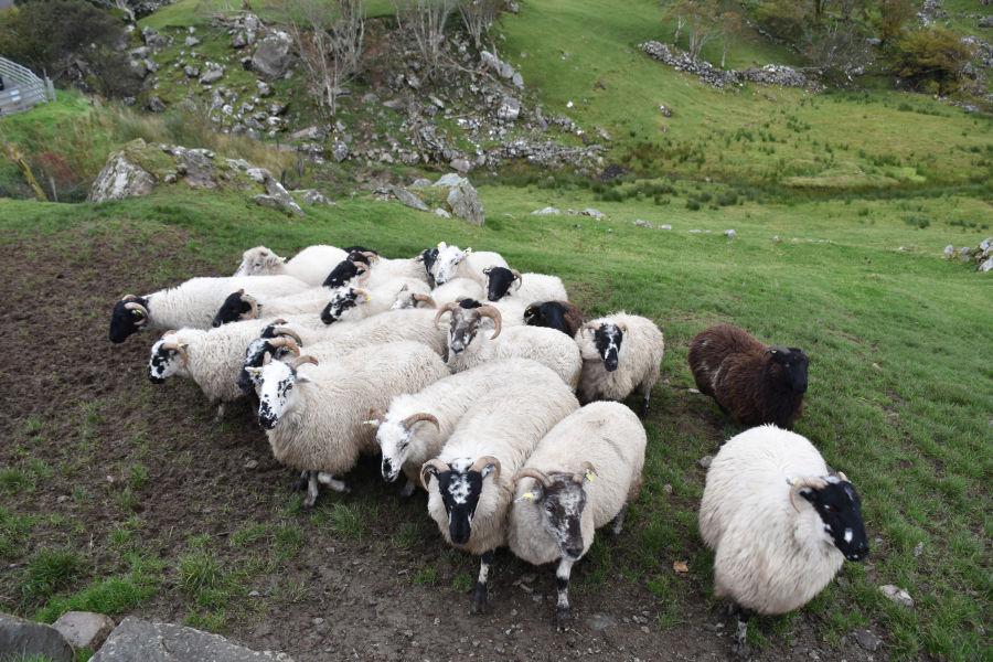 Sheep at Kissane Sheep Farm