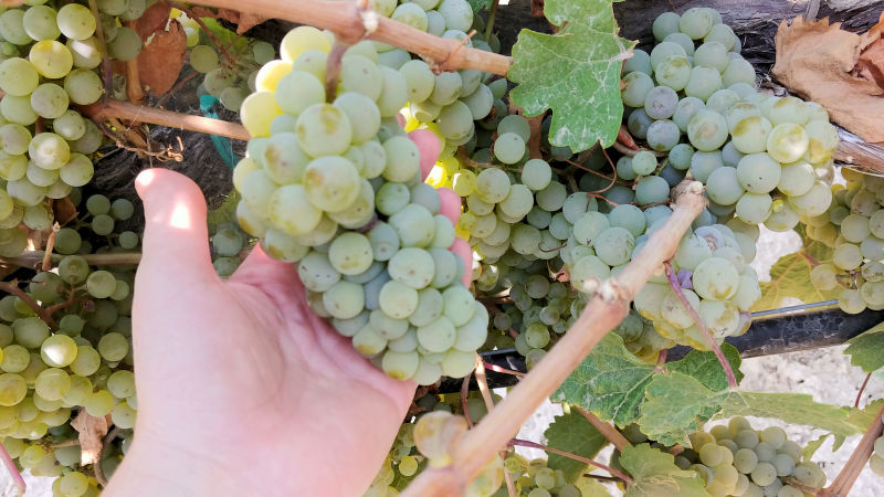 A hand holding a bunch of Idaho wine grapes.