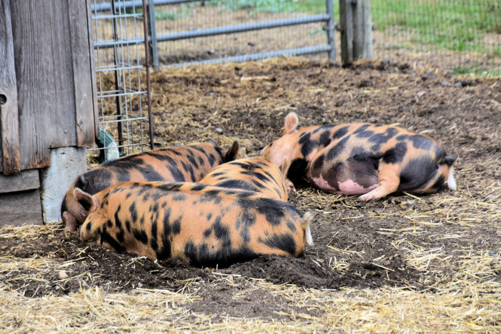 pigs at Aurora Farms on San Juan Island.