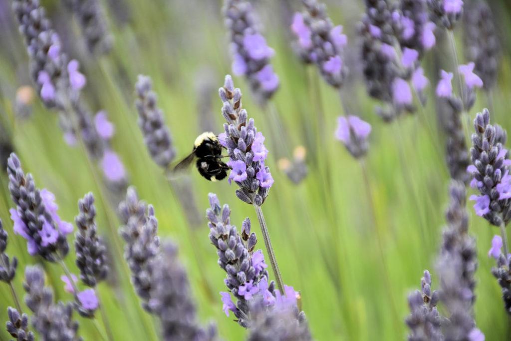 A bee on lavender at Pelindaba Lavender Farm on San Juan Island.