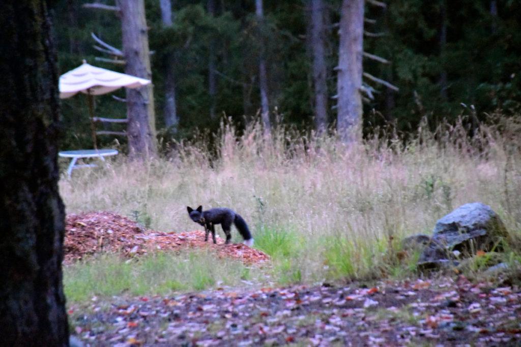 A black fox on San Juan Island.