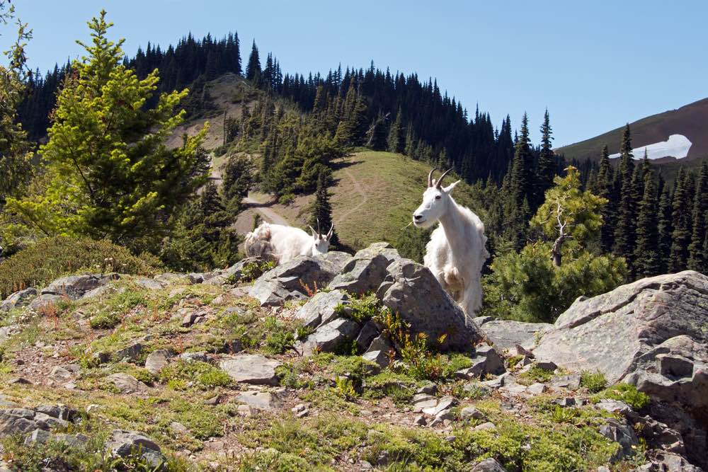 Two white nanny goats standing on rocks on Hurricane Hill, with pine trees and some snow in the distance on a blue sky day.