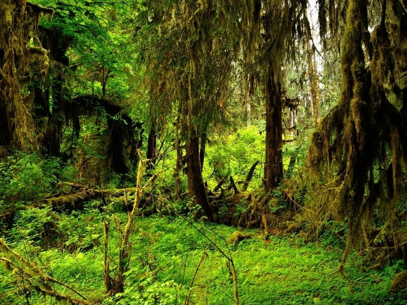 Green temperate rainforest on the Olympic Peninsula with shaggy mossy trees and lots of greenery