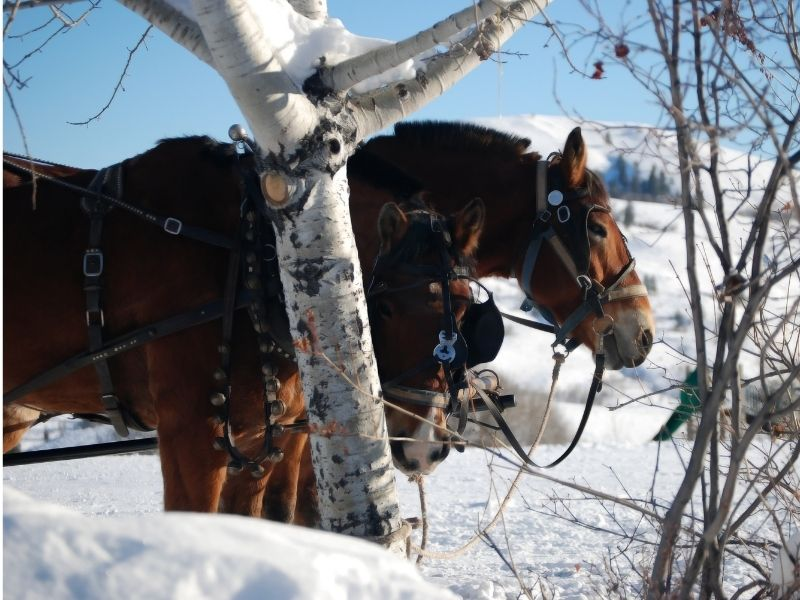Two horses wearing reins and other sleigh ride equipment in the snow with a birch tree in the foreground