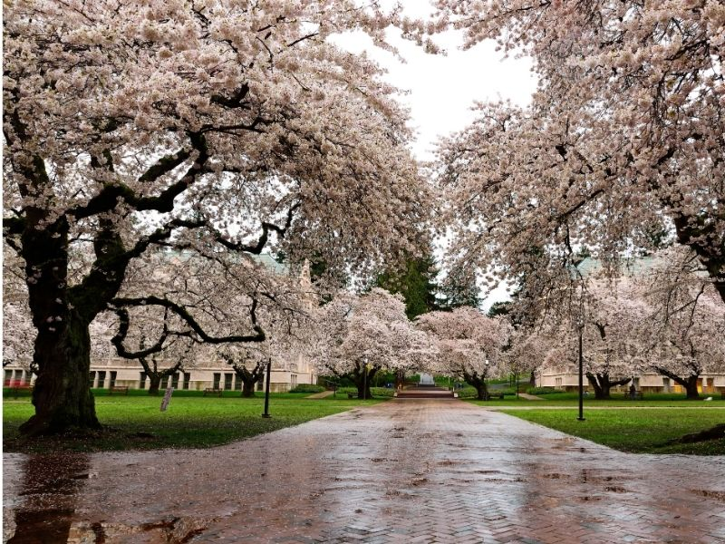 Seattle cherry blossoms in a park after a rainstorm with grass and wet brick path.