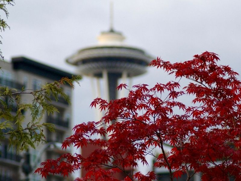 Red maple leaves in front of the Seattle Space Needle, which is blurred in the background but still visible and identifiable.