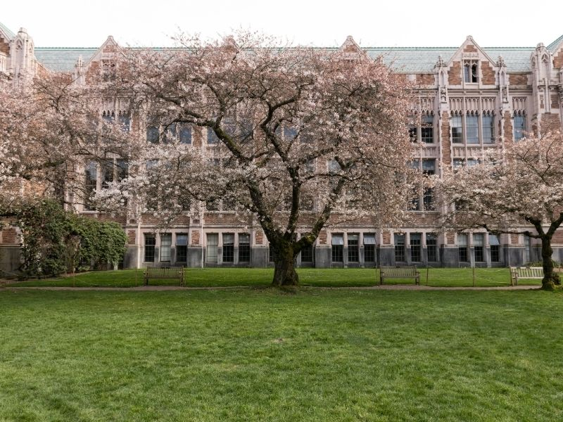 An ornate styled brick building belonging to the University of Washington with some cherry blossoms in full bloom in spring and a green lawn.