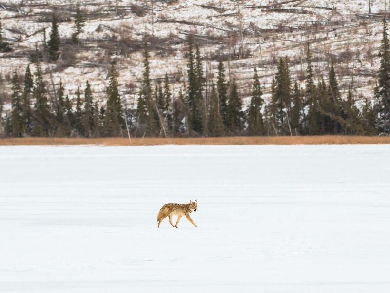 A coyote walking in the snow with pine trees and a mountain in the background.