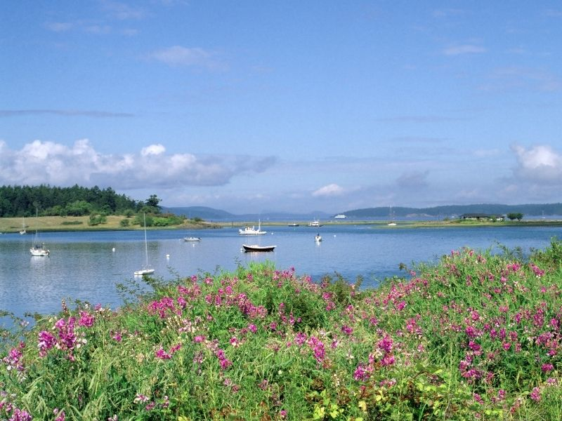 Several sailboats and small boats in the water with pink flowers in the foreground.