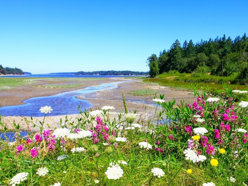 Pink, white, and yellow flowers in the foreground with a small creek leading out into the water on Marrowstone Island in Washington State.