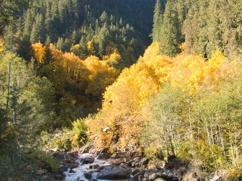 Yellow trees and evergreen trees on a fall hike along the Old Sauk River Trail