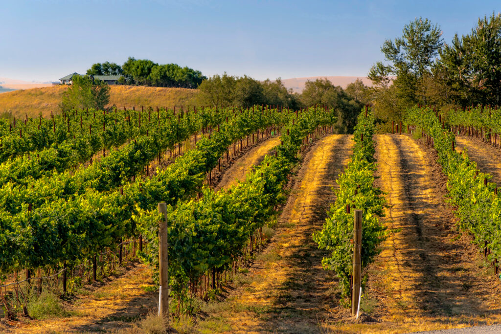 rows of grapevines at a vineyard and walla walla wine country