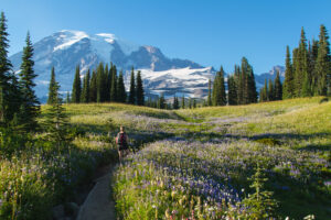 man hiking in washington through a field of wildflowers with mount rainier in the background. mount rainier is home to some of the best hikes in washington state
