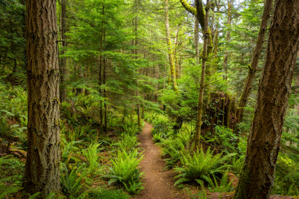 washington state hiking trail surrounded by rainforest on either side