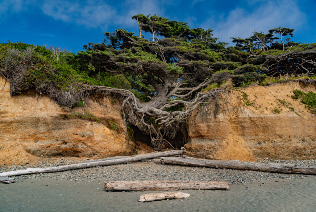 Kalaloch Tree Root Cave on a beach in washington state on a sunny day
