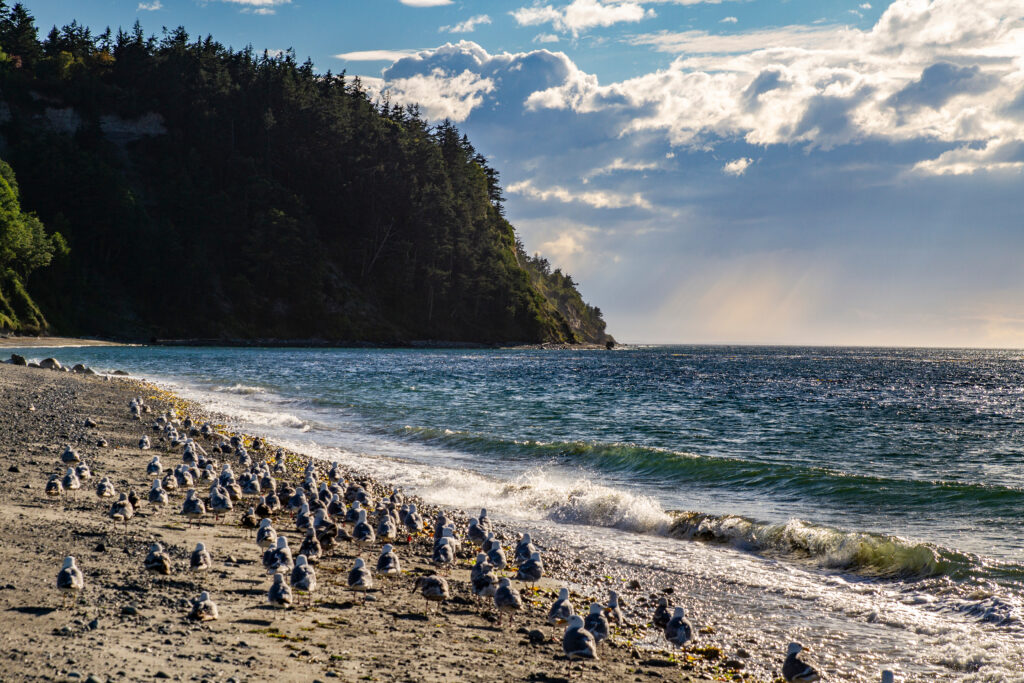flock of seagulls on the sand at fort worden state park beach washington state
