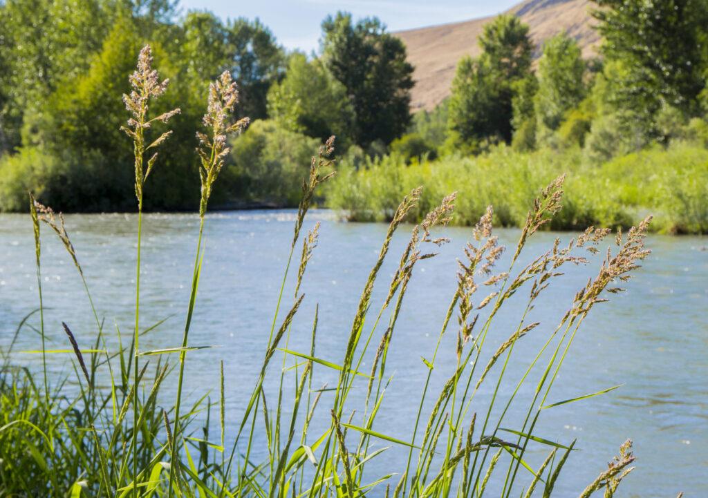 grass growing near a river in yakima washington