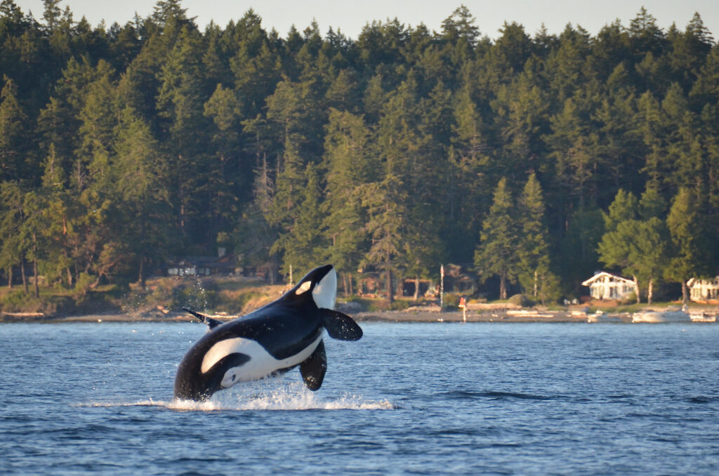photo of an orca jumping out of the water in front of one of the san juan islands washington state, one of the best seattle weekend getaways