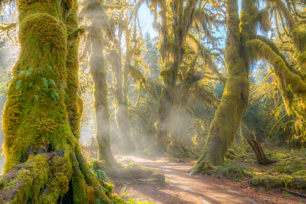Misty morning walking through the Hall of Mosses trail in Hoh Rainforest with moss-covered trees and mist