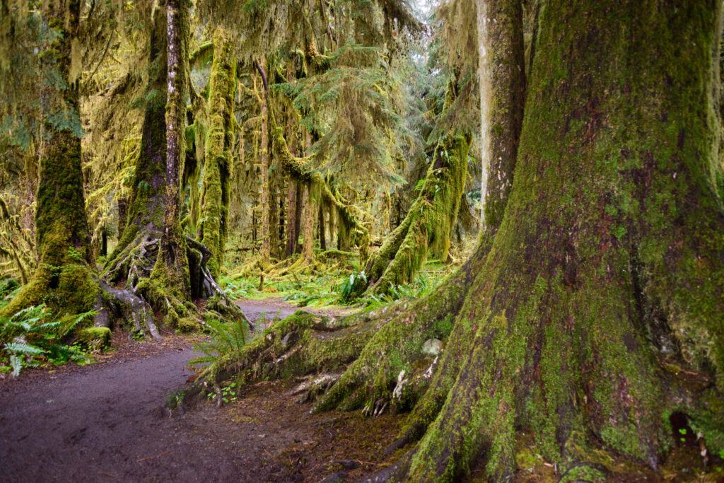 hoh rainforest trail with a mossed-over tree trunk in the foreground along one of the best hiking trails in washington state