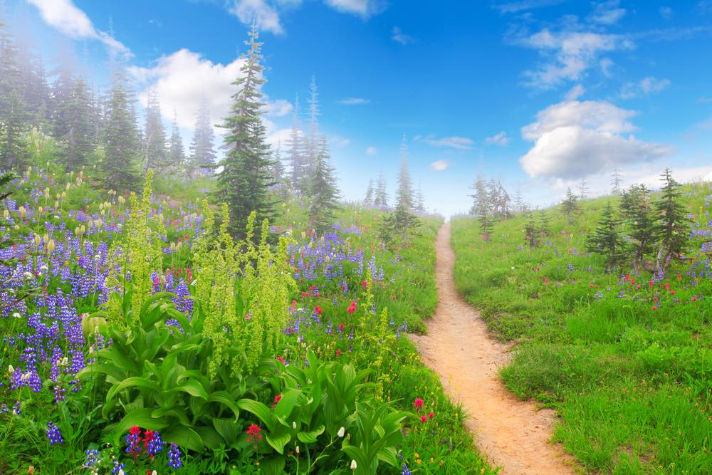 A misty trail full of purple lupine and red wildflowers leading up a hill on a sunny blue sky day in Mount Rainier National Park
