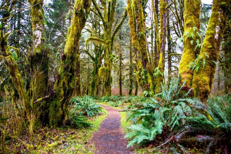 A path with reddish-brown dirt winding through a rainforest with moss-covered trees and large ferns.