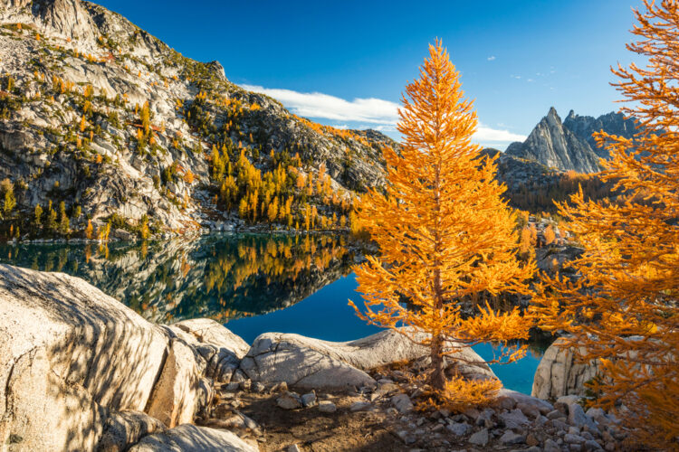 Larches and other orange foliage trees in the fall hiking in the Enchantments, surrounding one of the many alpine lakes.