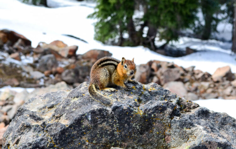 A small reddish-brown chipmunk with a stripe on its back sitting on a rock in a snow-covered landscape in Crater Lake