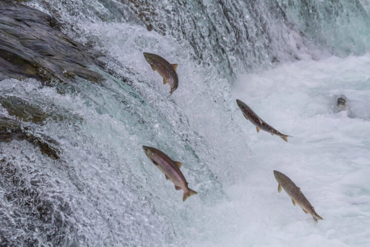 Four Sockeye salmon jumping upstream up a small cascade to migrate back home to lay eggs.