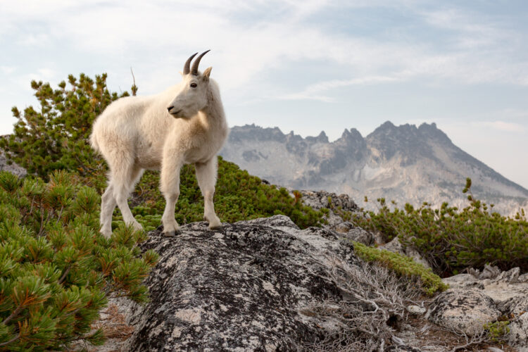 A white mountain goat standing on a rock next to shrubs with mountains in the background, seen while hiking the Enchantments trail.