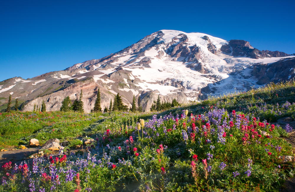 Wildflowers in the summer at the base of a hiking trail in Mt Rainier National Park, the mountain is covered in snow
