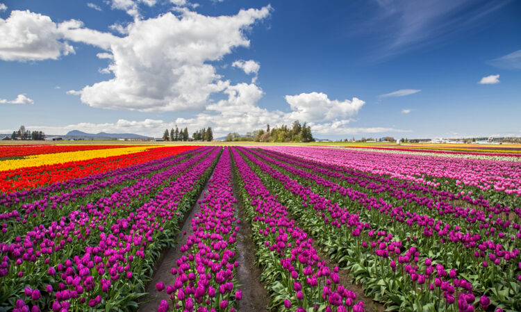 Rows of tulips in the Skagit Valley in shades of purple, red, yellow, pink, and white.
