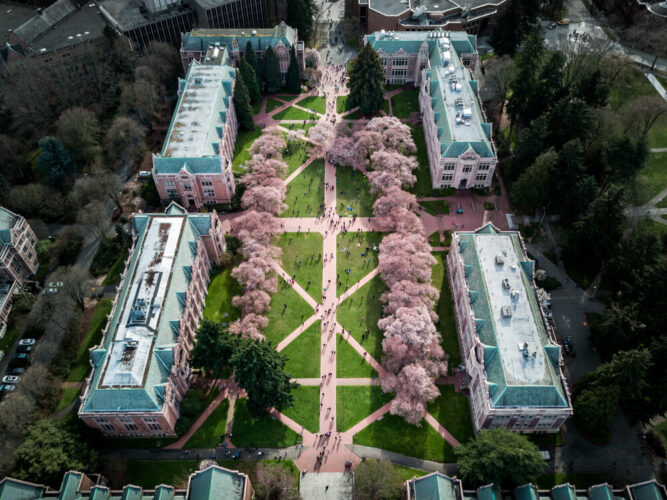 An aerial drone photo of rows of cherry trees at the University of Washington quad, with four main buildings on the perimeter of the green space lined with pink trees.