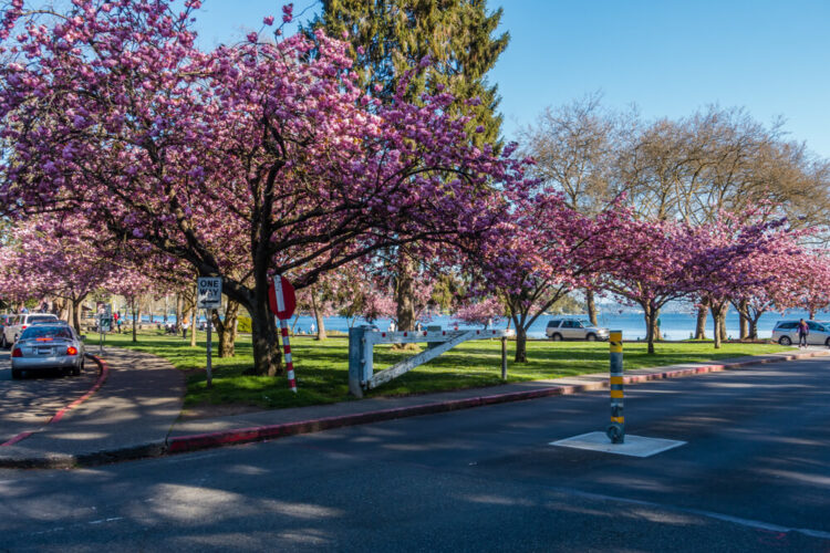 Cherry blossoms in Seattle at Seward Park, where several trees line the street with the lake in the background.