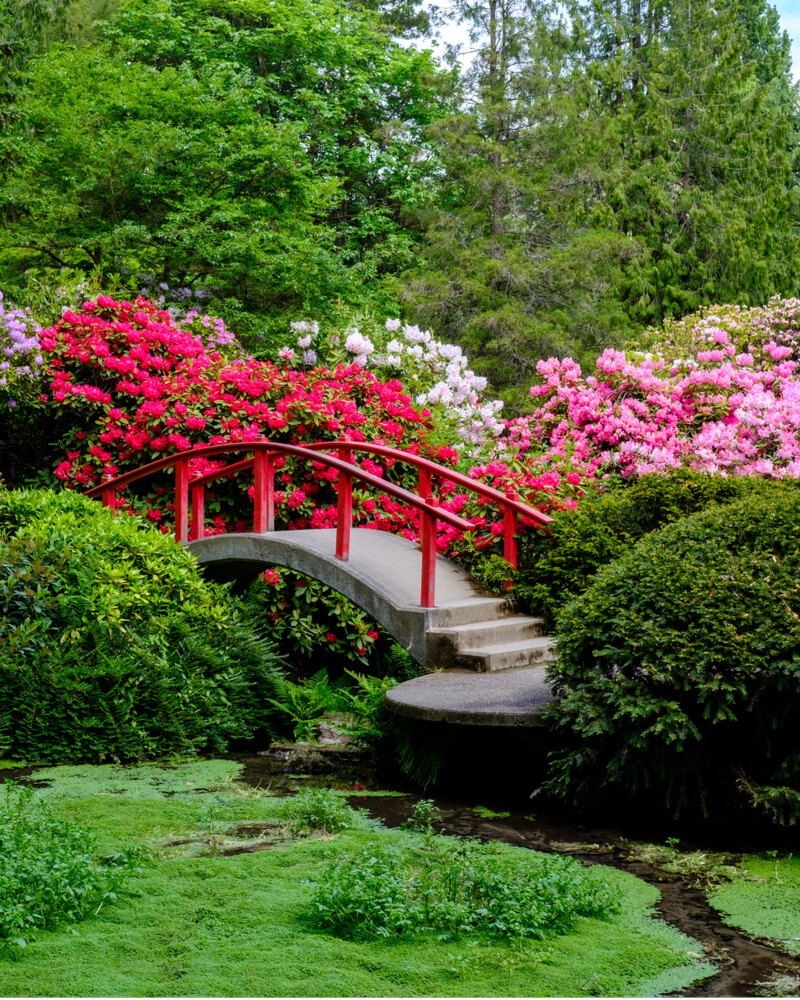 A traditional curved bridge with red railing at the Seattle Japanese Garden, surrounded by red flowers and cherry blossoms.