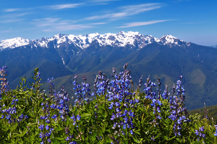 Purple wildflowers in bloom in front of snow-capped mountains in the distance.