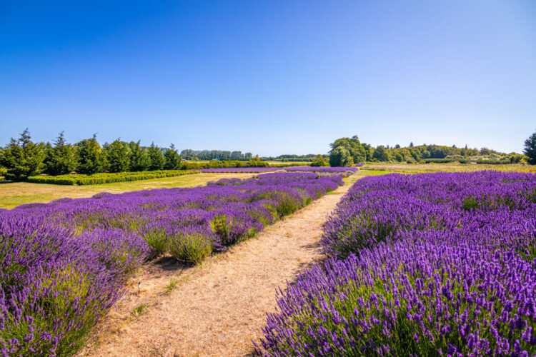 Purple lavender fields in Washington State with rows to walk between them on a farm.