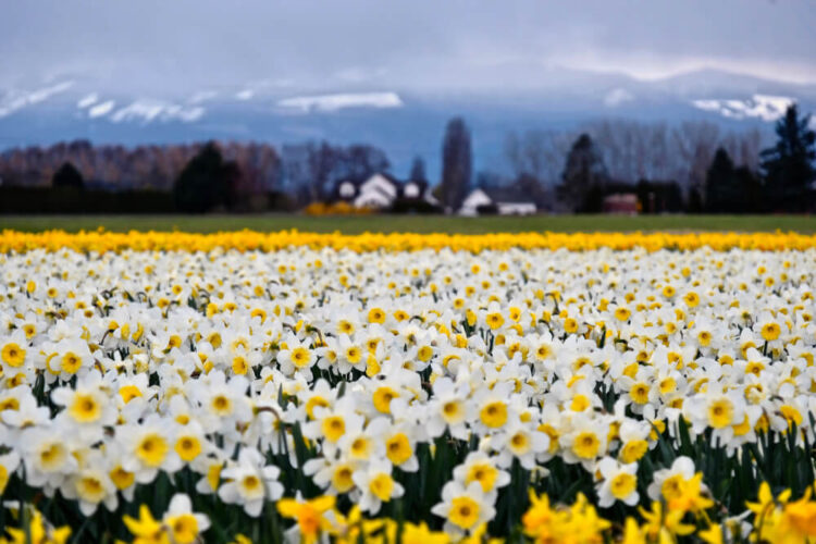Close up of white and yellow daffodils in La Conner with a blurry backgound of farmhouses and snow-covered mountains in the distance.