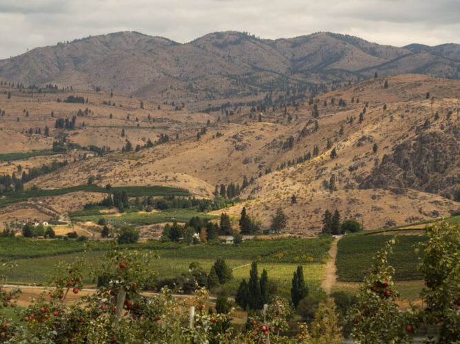 Apple orchards with ripe red apples in a valley near Lake Chelan surrounded by mountains.