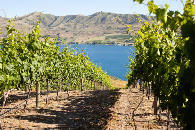 Close up photo of green grape vines on a hill over the blue water of Lake Chelan