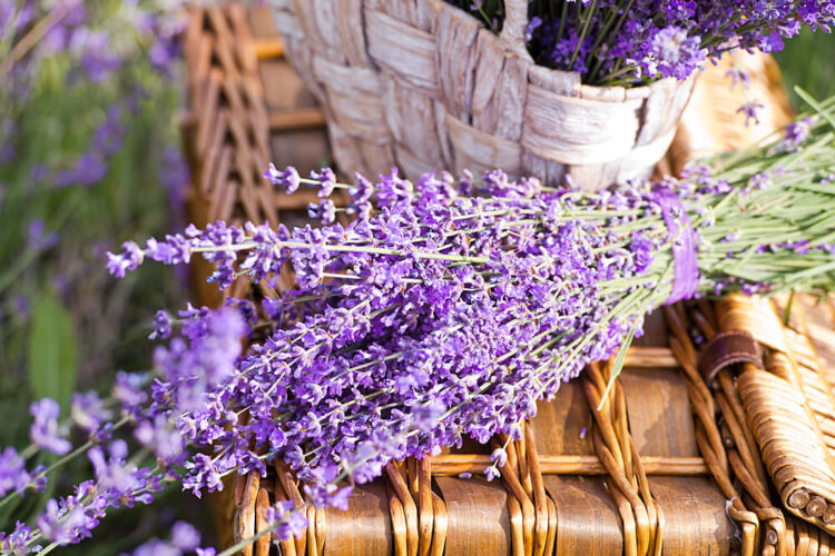 Cut bunch of lavender sitting atop a woven basket