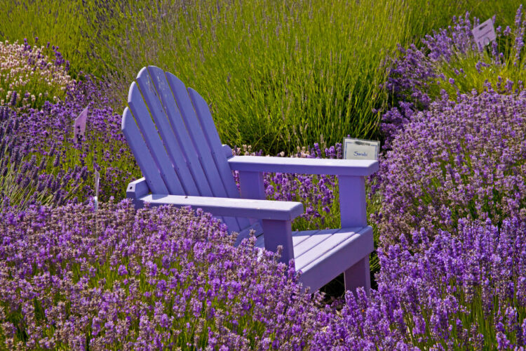 A purple chair in the middle of lavender bushes at a lavender farm in Sequim Washington